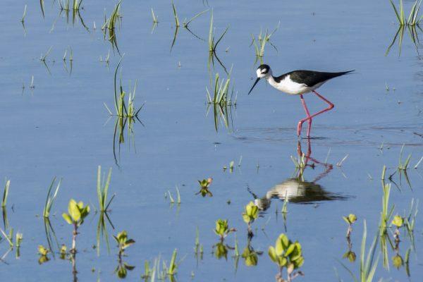Bird stands in water in San Joaquin Marsh