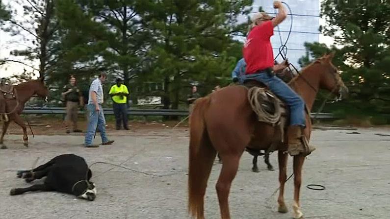 Georgia cowboys help round up cattle