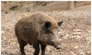Belgium Calls in Army Snipers to Take Out Virus-Carrying Boars