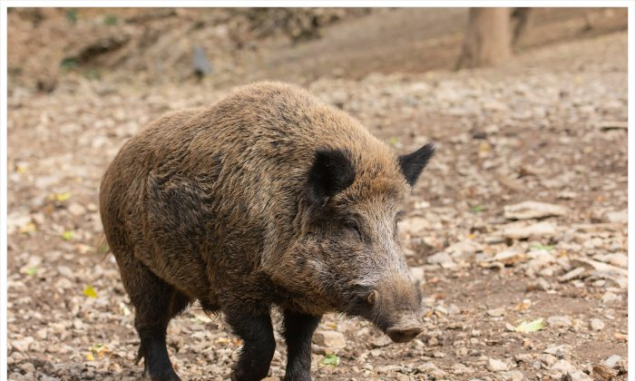 Sharpshooters are being sent into forests in southern Belgium to cull the boar population due to the outbreak of the African swine fever. (Wildpix productions/Shutterstock)