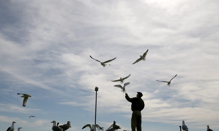 A man feeds seagulls at Port View Park in Oakland, California, on Feb. 11, 2015. (Justin Sullivan/Getty Images)