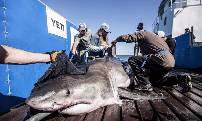 """A shark named """"Hilton"""" with over 45,000 Twitter followers is tagged by marine research group Ocearch. (The Canadian Press)"""