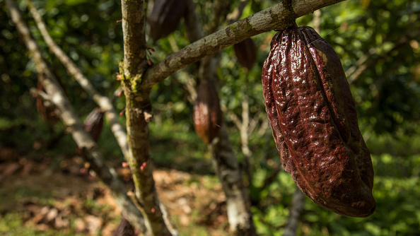 View of a cacao tree in Gareno, 175 km southeast of Quito, Ecuador on Dec. 7, 2015. (PABLO COZZAGLIO/AFP/Getty Images)