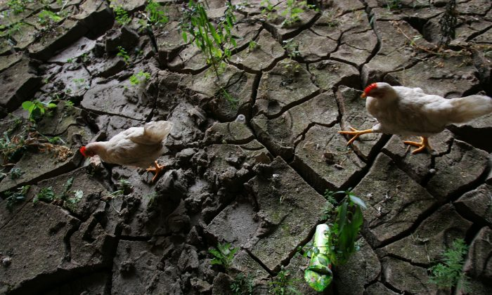 Chickens look for food in a cracked riverbed in Qijiang County, Chongqing City, on Aug. 26, 2006. (China Photos/Getty Images)