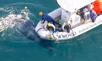 Whale Calf Rescued From Shark Nets Off the Coast of Australia