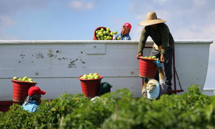 Workers fill a trailer with tomatoes as they harvest them Florida in 2013. (Joe Raedle/Getty Images)