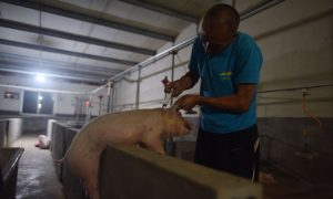 China's Soybean Shortage May Leave Millions of Pigs to Go Hungry
