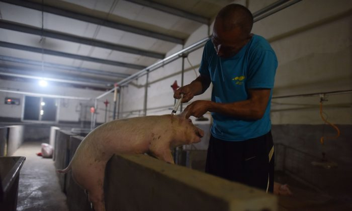 This photo taken on  shows a worker vaccinates a pig at a pig farm in Yiyang county, in China's central Henan Province on Aug. 10, 2018. (GREG BAKER/AFP/Getty Images)