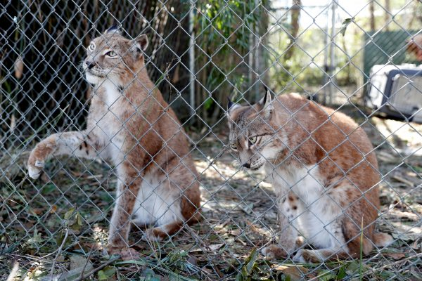 Two Siberian lynx sit in their cage