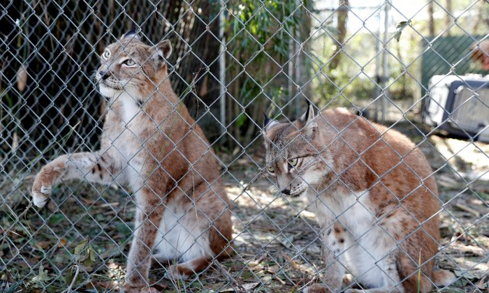 Siberian lynx sit in their cage in the aftermath of Hurricane Michael at the Bear Creek Feline Center in Panama City, Flo., U.S., Oct. 12, 2018.v(Terray Sylvester/Reuters)