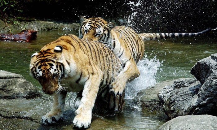 Two Bengal Tigers play in the water at Taipei City in this file photo. The Bengal tiger exists in the highest numbers in the mangrove forests of the Sundarbans in Eastern India and Bangladesh. They can also be found in other areas of India as well as some parts of Nepal and Burma. (Sam Yeh/AFP/Getty Images)