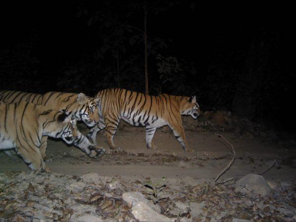 Three Royal Bengal tigers