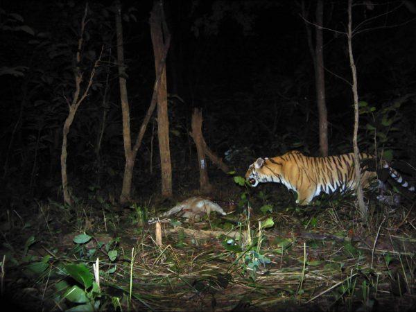 A Royal Bengal tiger