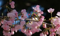 Japan's Cherry Blossoms Burst Forth Months Too Early