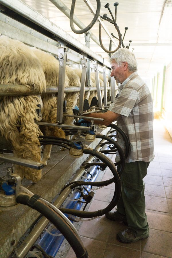 Lorenzo Villiani milks his sheep on his farm in Manciano Tuscany