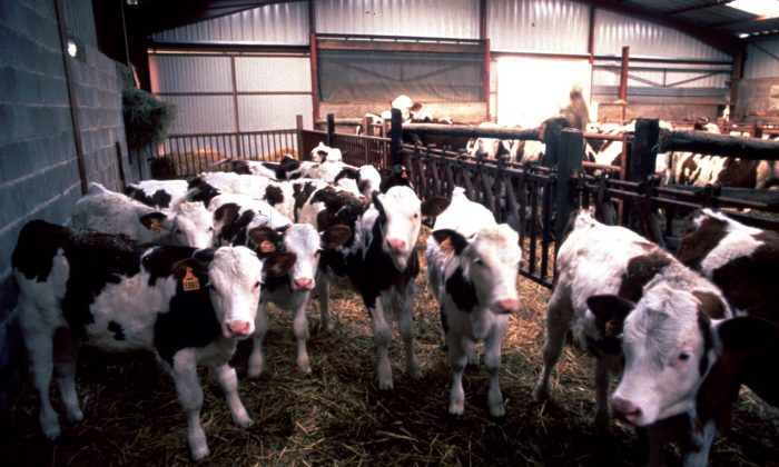 Cows suspected to have the BSE virus (commonly known as mad cow disease) stand in a corral at a cow ranch in England, March 1, 1996. (Liaison/Getty Images)