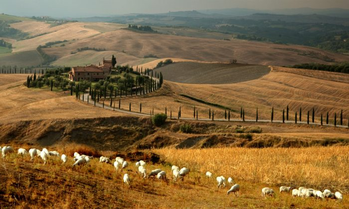 Tuscany has long been sheep country; pecorino is firmly rooted in the history of the region. (Courtesy of the Consortium for Pecorino Toscano PDO)