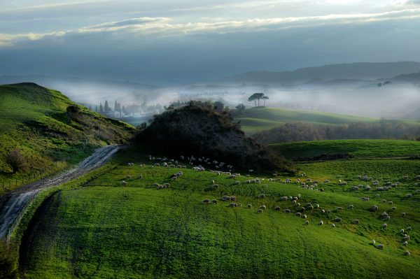 Sheep graze in the green hills of Valdorcia Tuscany