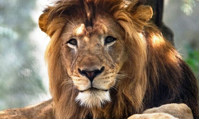 The Indianapolis Zoo said that a lion died on Oct. 15, 2018, from injuries he sustained in a fight with a female lion at an enclosure. (Facebook)