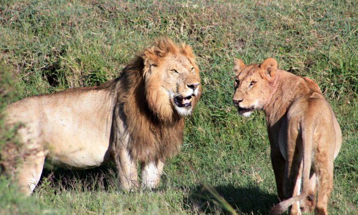 Lions as seen on a safari in Kenya's Tanzania's Serengeti region, on March 6, 2016. (Charmaine Noronha via AP)