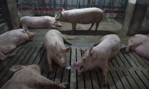 African Swine Fever Found in Southwestern China, Confirming Spread Throughout Country
