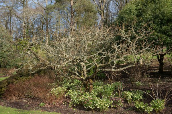 Chinese Sumac or Nutgall Tree (Rhus chinensis) Covered with Lichens and Surrounded by Hellebores (Helleborus) in Winter