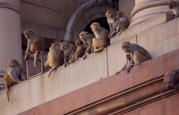 monkeys on building