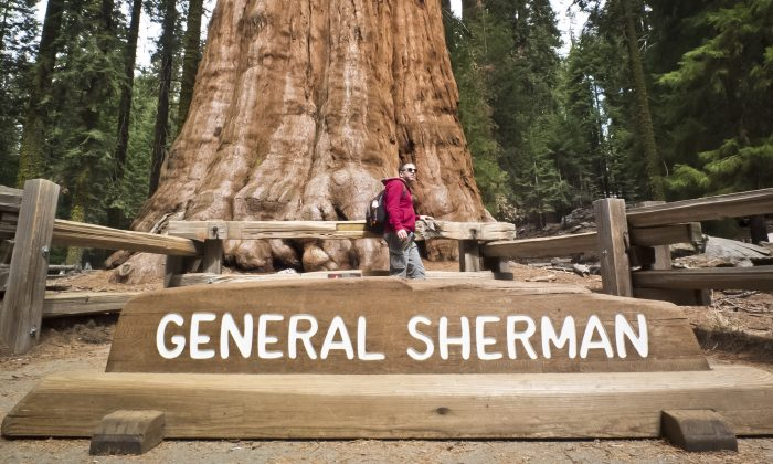 A picture taken March 09, 2014 shows a tourist posing for a photo next to the General Sherman Giant Sequoia (Sequoiadendron giganteum) at Sequoia National Park in California. With an estimated volume of 1,487 cubic metres (52,513 cu ft), General Sherman sequoia is the largest tree on earth. The tree's height is 83.8 metres (275 ft), its diameter - 7.7 metres (25 ft) and its estimated age - 2,3002,700 years. (Mladen Antonov/AFP/Getty Images)