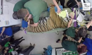 Rare Sumatran Tiger Gets First Health Check in Years in New Video Footage
