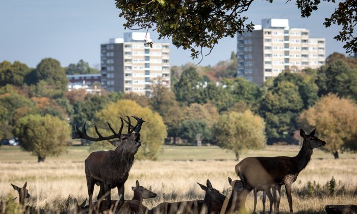 Red deer shelter in the shade of a tree in Richmond Park, London on Oct. 5, 2018. (Jack Taylor/Getty Images)