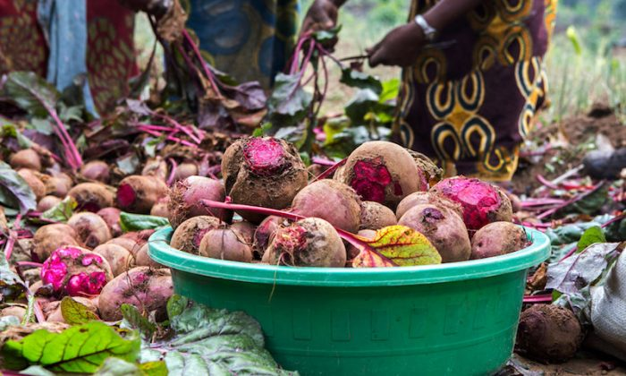 Raw beetroot bulbs harvested from a farm are packed in a basin in Rubavu district, Western province, Rwanda Oct. 3, 2018. (Reuters/Jean Bizimana)