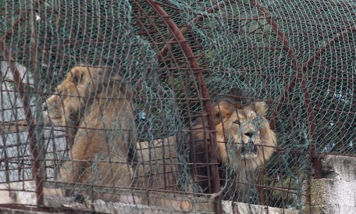 Lions sit in their cages at Safari Zoo Park in Mbrostar, about 100 kilometers (60 miles) south of Tirana, on Oct. 28, 2018. (AP Photo/Llazar Semini)