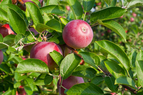 In the apple-rich state of New York, the cider scene is thriving. (Shutterstock)