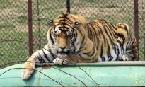 China Reverses Ban on Trade in Tiger, Rhino Products