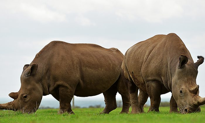 Najin (L) and Fatu, the only two remaining northern white rhinos graze together at the ol-Pejeta conservancy in Nanyuki, north of capital Nairobi on March 20, 2018. (Tony Karumba/AFP/Getty Images)
