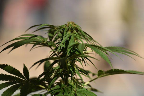 marijuana plant in canada