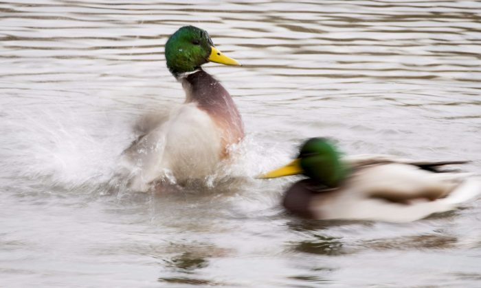 Ducks shake their feathers as they swim in Burnaby Lake in Burnaby, B.C. on Monday, Nov. 5, 2018. (Jonathan Hayward/The Canadian Press)
