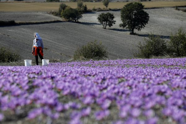 Evangelia Patsioura pauses as she harvests saffron flowers