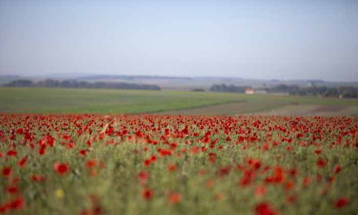 Poppies are in full bloom in a field near Sommepy-Tahure, France, on Oct 14, 2014. (Virginia Mayo/AP Photo)