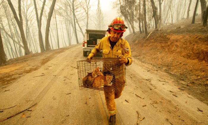 Capt. Steve Millosovich carries a cage of cats while battling the Camp Fire in Big Bend, Calif., on Nov. 9, 2018. Millosovich said the cage fell from the bed of a pick-up truck as an evacuee drove to safety. (AP/Noah Berger)
