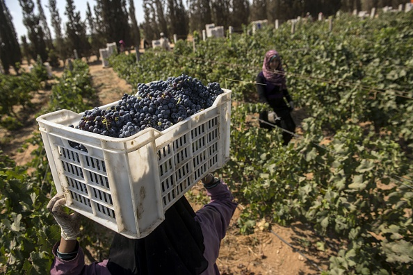Egyptian workers harvest grapes at the Kouroum of the Nile Company vinyards and winery  in the Karm el-Nada area some 50 kilometres north of Cairo on July 20, 2016. (KHALED DESOUKI/AFP/Getty Images)