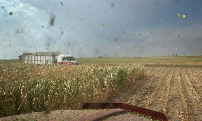 Pieces of mulched corn stalks fly through the air as a crop cutter mows down the remnants of a drought-ravaged crop to sell as livestock feed on Aug. 22, 2012 in Wiley, Colo. (John Moore/Getty Images)