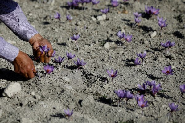 A worker harvests saffron flowers in a field in the town of Krokos