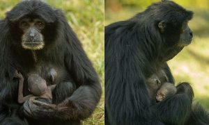 San Diego Zoo's 37-Year-Old Ape on Birth Control Has a Baby