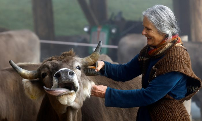 Claudia, wife of Armin Capaul the horned cow initiative founder, cleans a cow ahead of a national vote on Nov. 25, at the Valengiron farm in Perrefitte, Switzerland, on Nov. 15, 2018. (Reuters/Denis Balibouse)