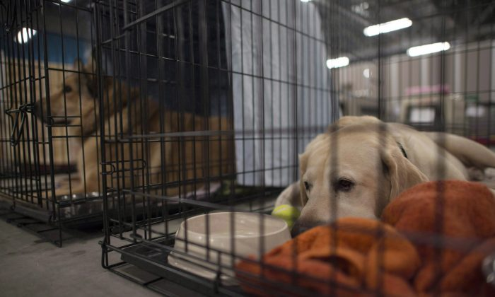 Dogs lay in cages at the SPCA rescue centre in the Bold Center in Lac la Biche, Alta., on May 10, 2016. (The Canadian Press/Jonathan Hayward)