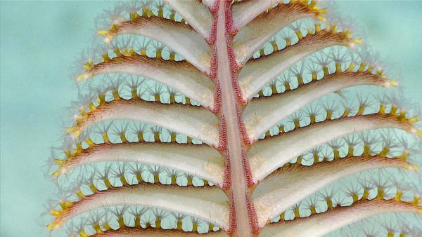 Deep sea fan or coral