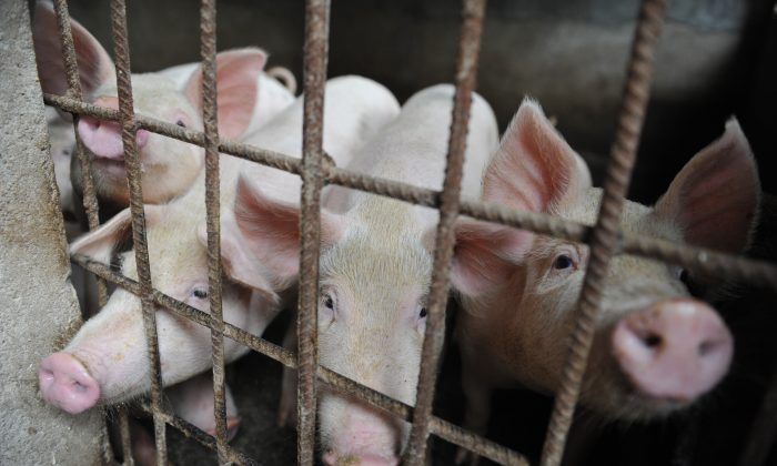 Pigs are seen in a hog pen in a village in Linquan county in Anhui Province, China on Aug. 31, 2018. Reeling from rising feed costs in Beijing's tariff fight with Washington, Chinese pig farmers face a new blow from an outbreak of African swine fever that has sent an economic shockwave through the countryside. (Chinatopix Via AP)