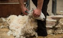 Animal Rights Activists PETA Demand British Village Called Wool Change Its Name