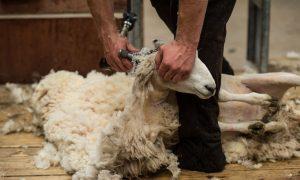 Animal Rights Activists PETA Demand British Village Called Wool Change Its Name